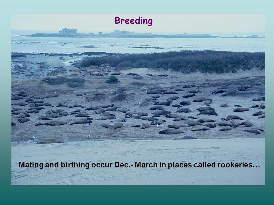 in CA, males arrive at beaches in Dec.