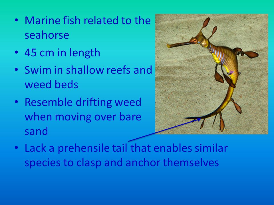 Marine fish related to the seahorse 45 cm in length Swim in shallow reefs and weed beds Resemble drifting weed when moving over bare sand Lack a prehensile tail that enables similar species to clasp and anchor themselves