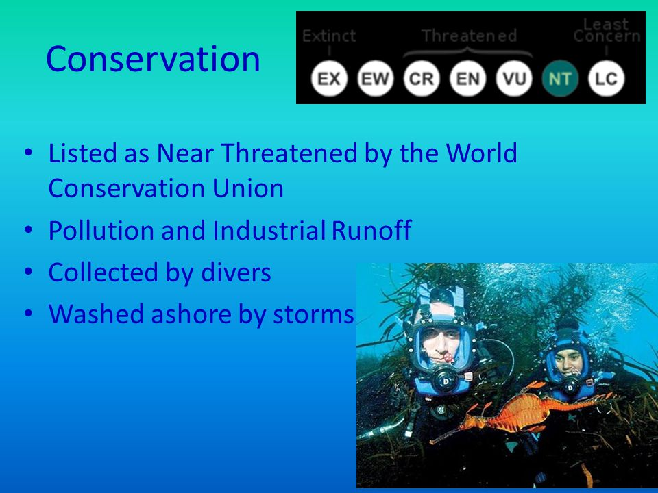 Conservation Listed as Near Threatened by the World Conservation Union Pollution and Industrial Runoff Collected by divers Washed ashore by storms