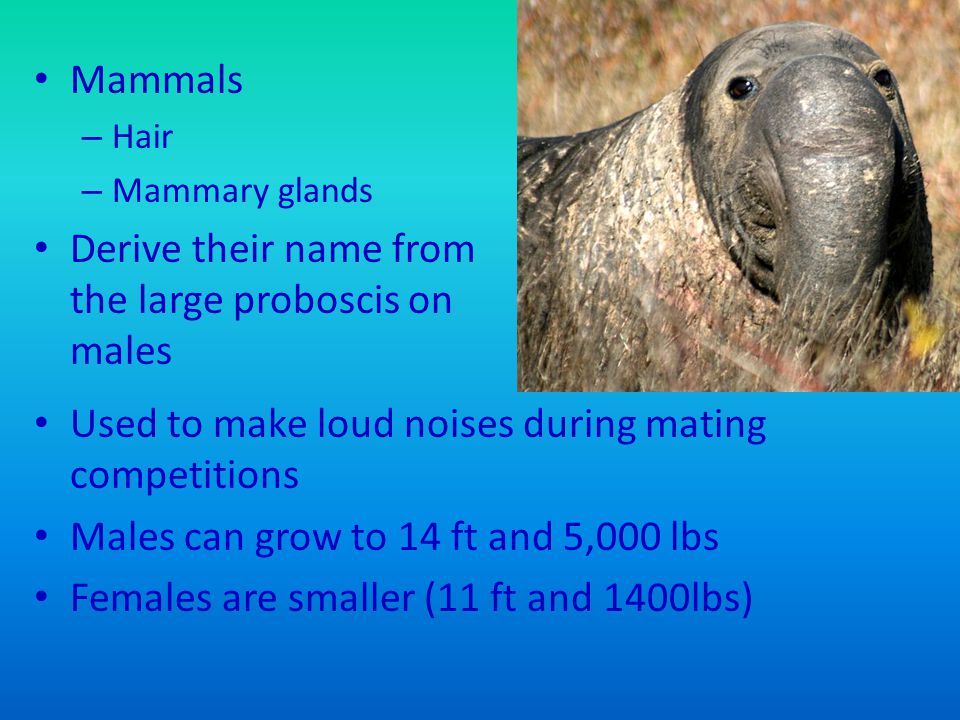Mammals – Hair – Mammary glands Derive their name from the large proboscis on males Used to make loud noises during mating competitions Males can grow to 14 ft and 5,000 lbs Females are smaller (11 ft and 1400lbs)