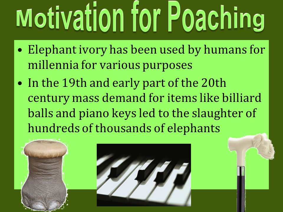 Elephant ivory has been used by humans for millennia for various purposes In the 19th and early part of the 20th century mass demand for items like bi