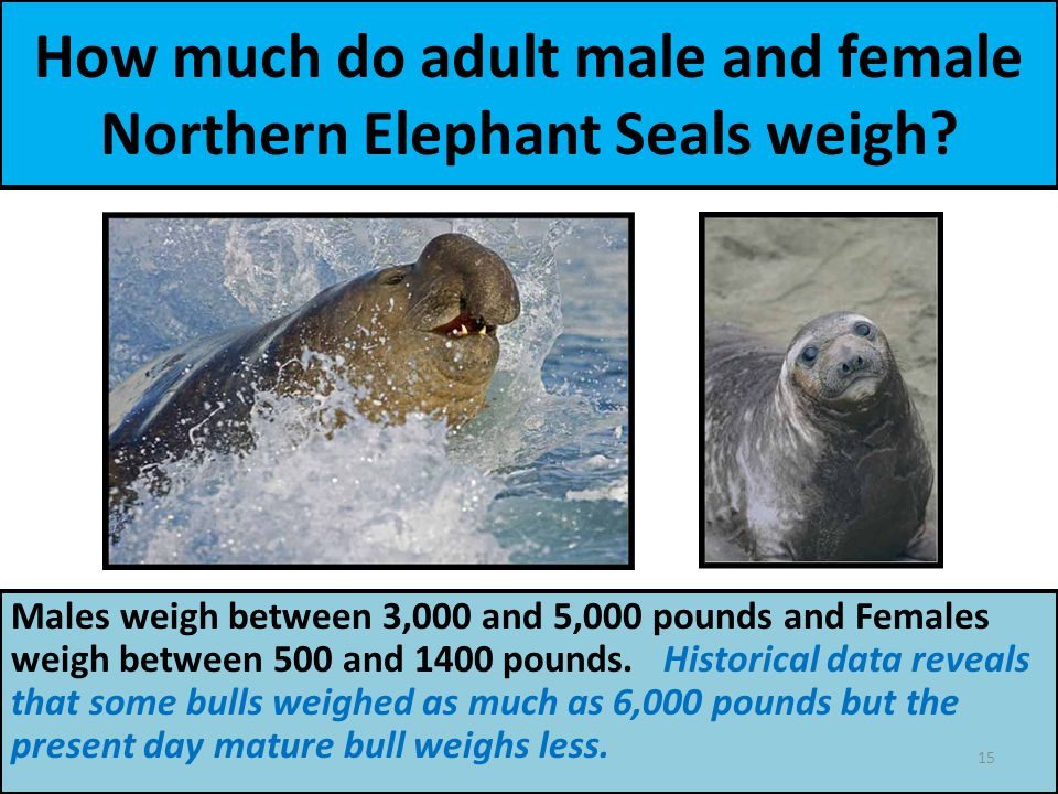How much do adult male and female Northern Elephant Seals weigh.