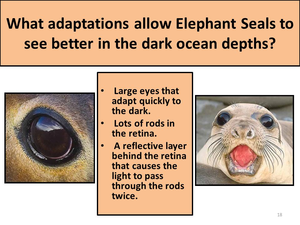 What adaptations allow Elephant Seals to see better in the dark ocean depths.
