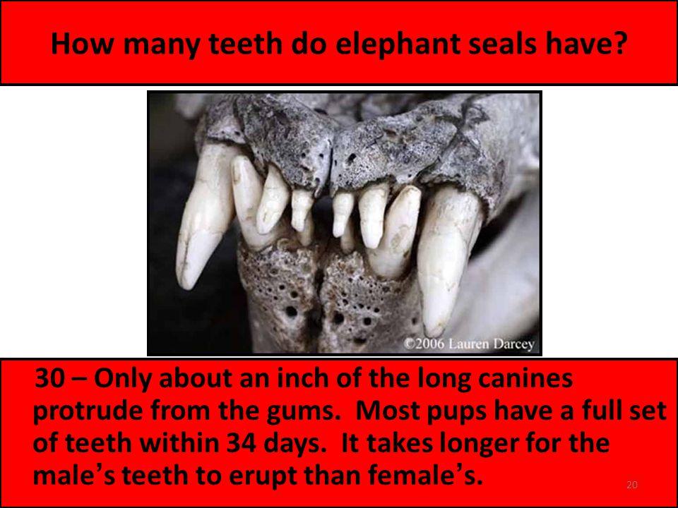 How many teeth do elephant seals have.