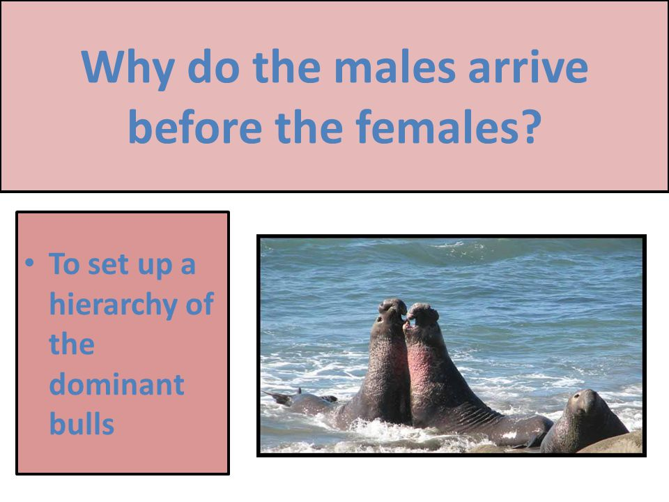 Why do the males arrive before the females To set up a hierarchy of the dominant bulls 22