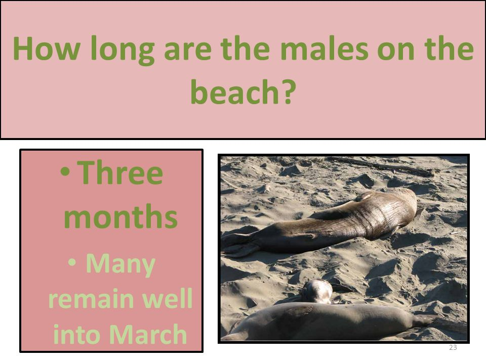 How long are the males on the beach Three months Many remain well into March 23