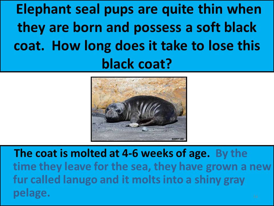 Elephant seal pups are quite thin when they are born and possess a soft black coat.
