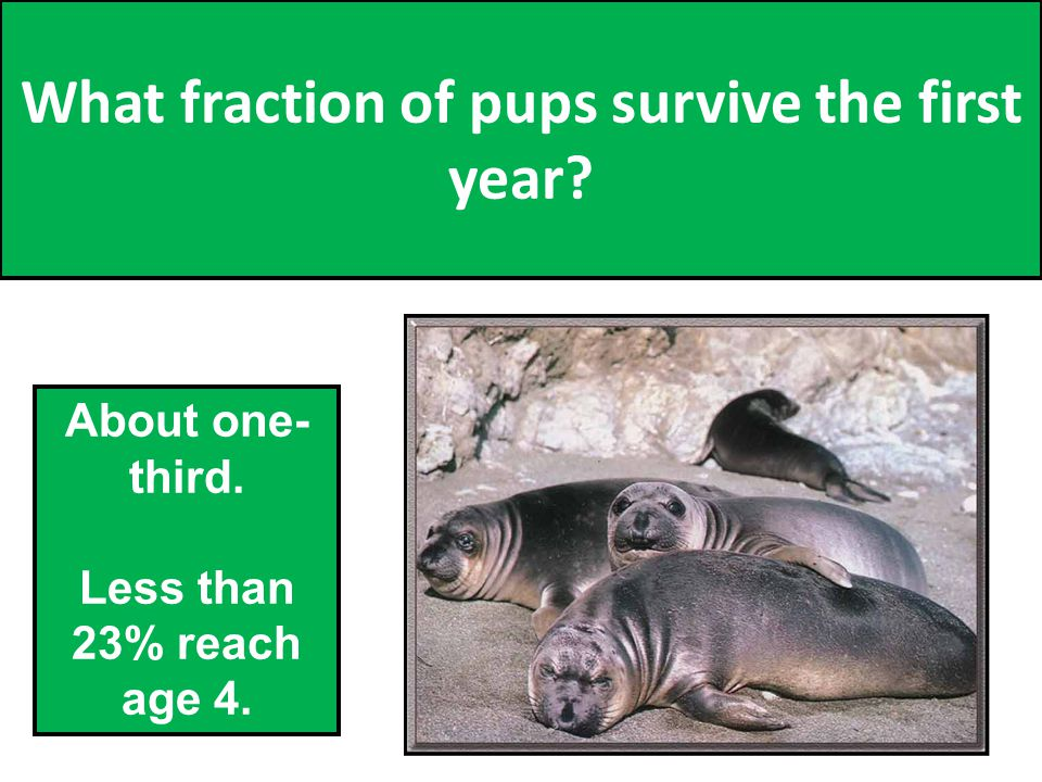 What fraction of pups survive the first year About one- third. Less than 23% reach age 4. 35
