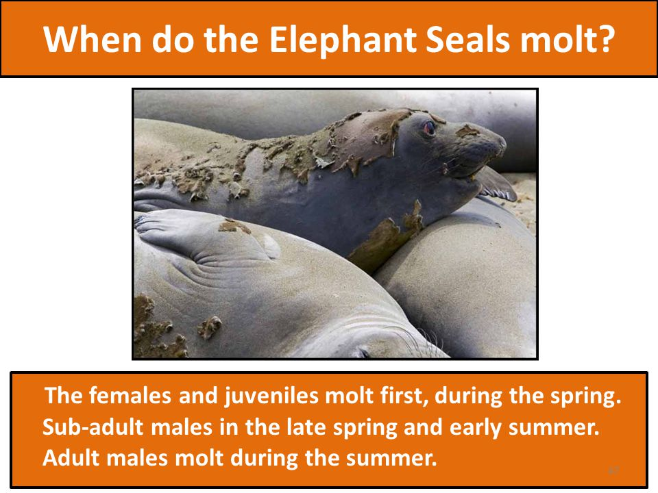 When do the Elephant Seals molt. The females and juveniles molt first, during the spring.