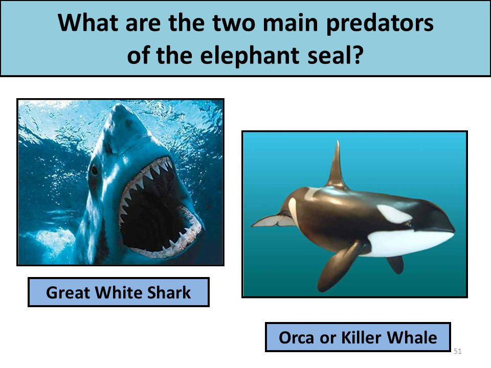 What are the two main predators of the elephant seal Great White Shark Orca or Killer Whale 51