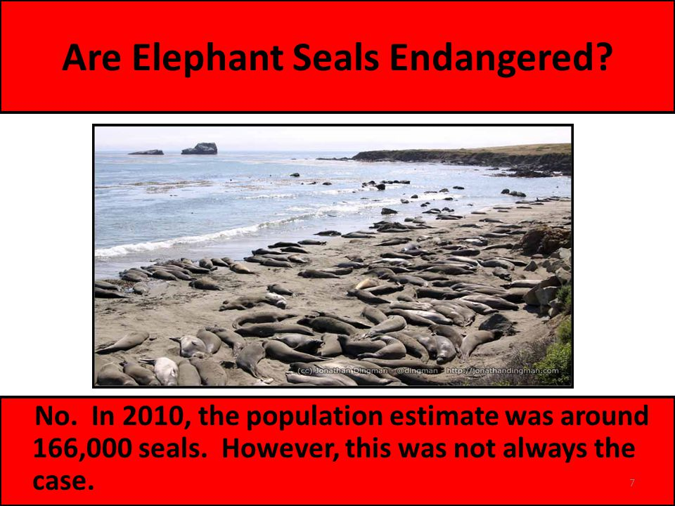 Are Elephant Seals Endangered. No. In 2010, the population estimate was around 166,000 seals.