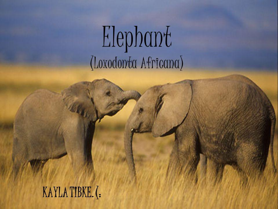 Elephant (Loxodonta Africana) KAYLA TIBKE. (: