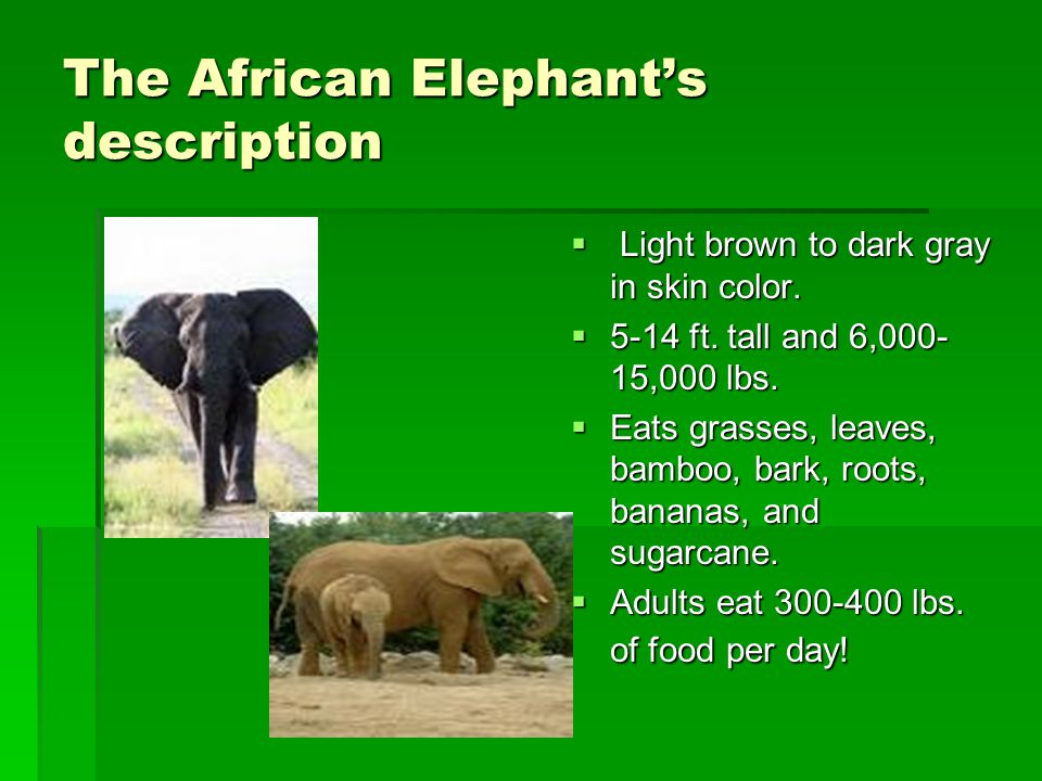 The African Elephant's description  Light brown to dark gray in skin color.