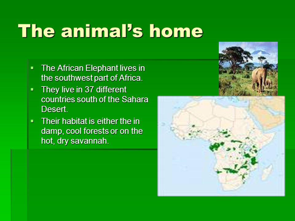 The animal's home  The African Elephant lives in the southwest part of Africa.