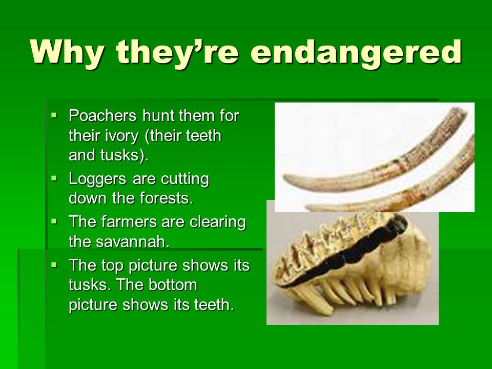 Why they're endangered  Poachers hunt them for their ivory (their teeth and tusks).