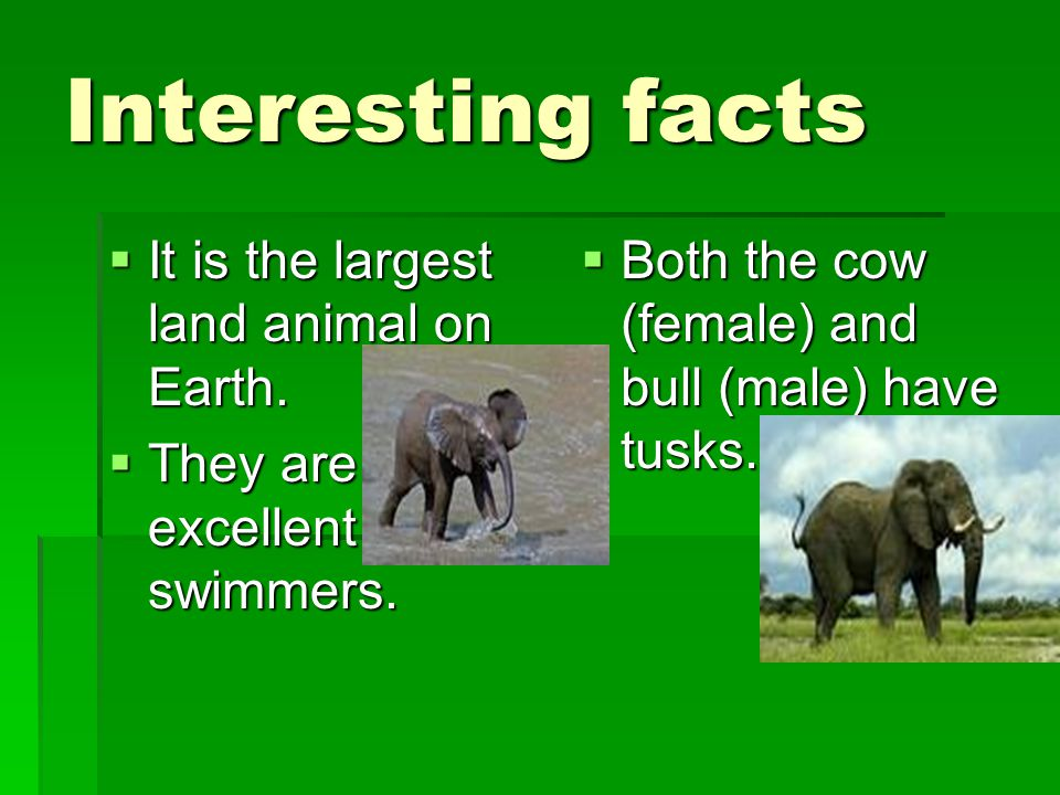 Interesting facts  It is the largest land animal on Earth.