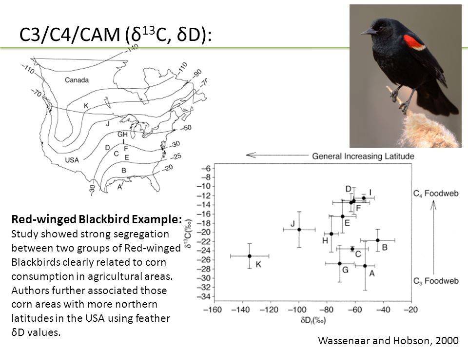 C3/C4/CAM (δ 13 C, δD): Wassenaar and Hobson, 2000 Red-winged Blackbird Example: Study showed strong segregation between two groups of Red-winged Blackbirds clearly related to corn consumption in agricultural areas.