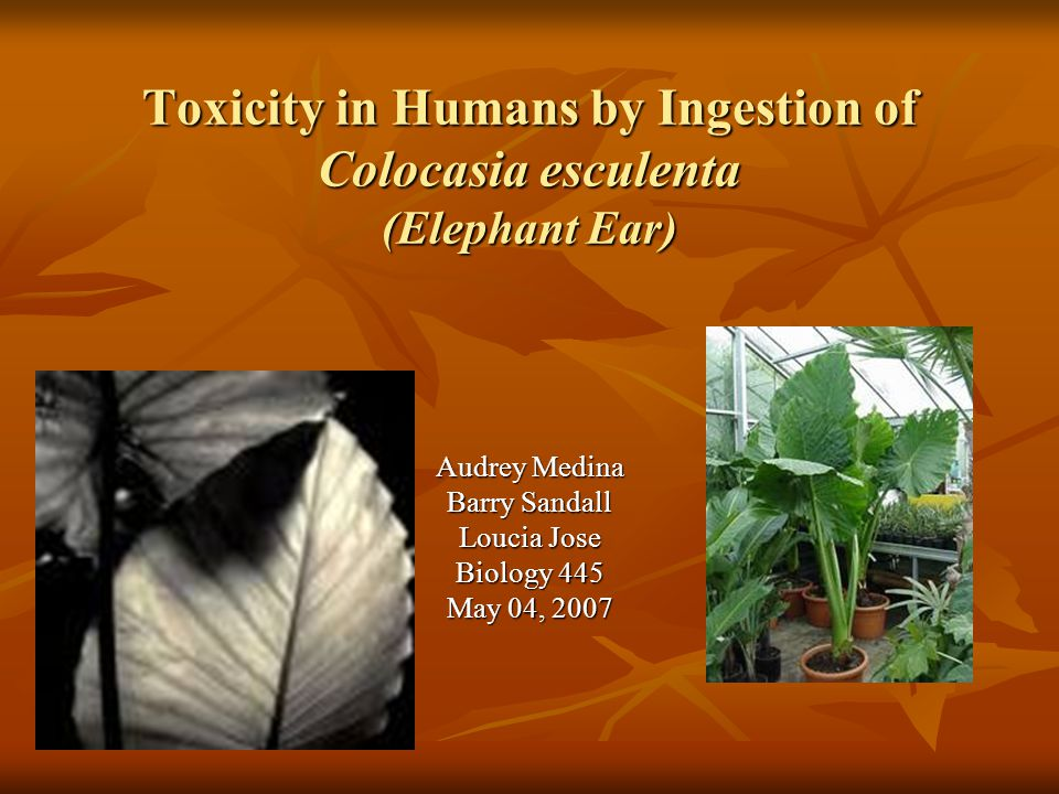 Toxicity in Humans by Ingestion of Colocasia esculenta (Elephant Ear) Audrey Medina Barry Sandall Loucia Jose Biology 445 May 04, 2007