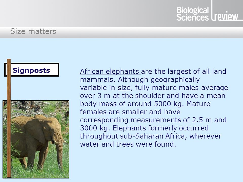 Size matters African elephants are the largest of all land mammals.
