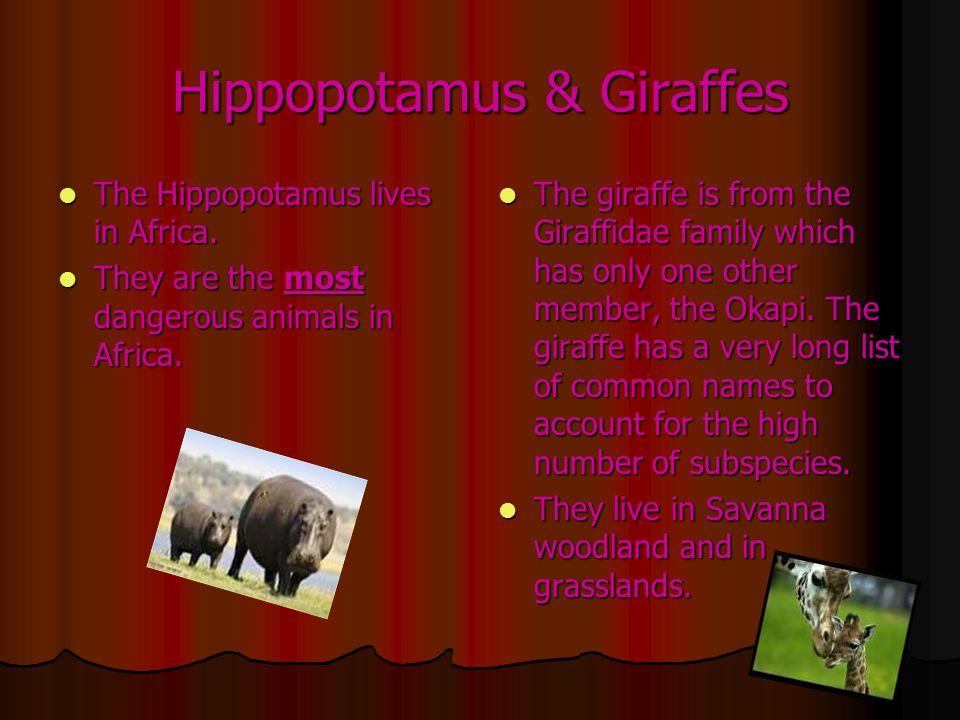 Hippopotamus & Giraffes The Hippopotamus lives in Africa.