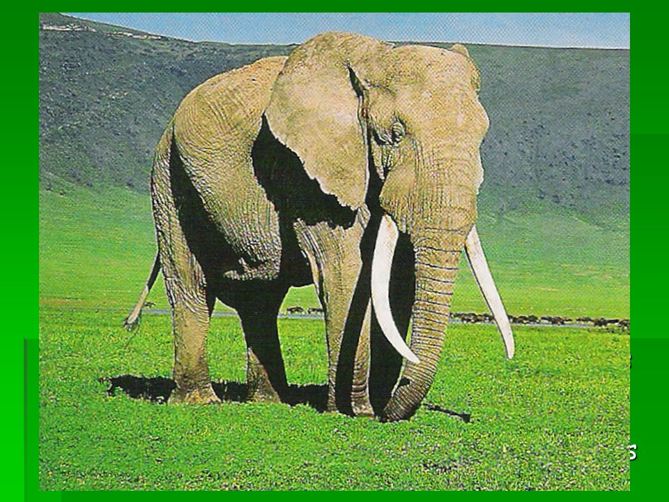 Adaptation to Hunting  Tusks of Male African Elephant  1930 – 99% born with tusks  Present – as few as 85% have tusks  Males with tusks killed the
