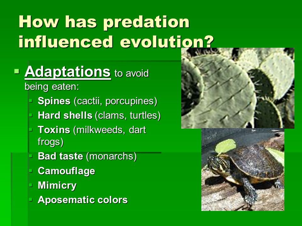 How has predation influenced evolution?  Adaptations to avoid being eaten:  Spines (cactii, porcupines)  Hard shells (clams, turtles)  Toxins (mil