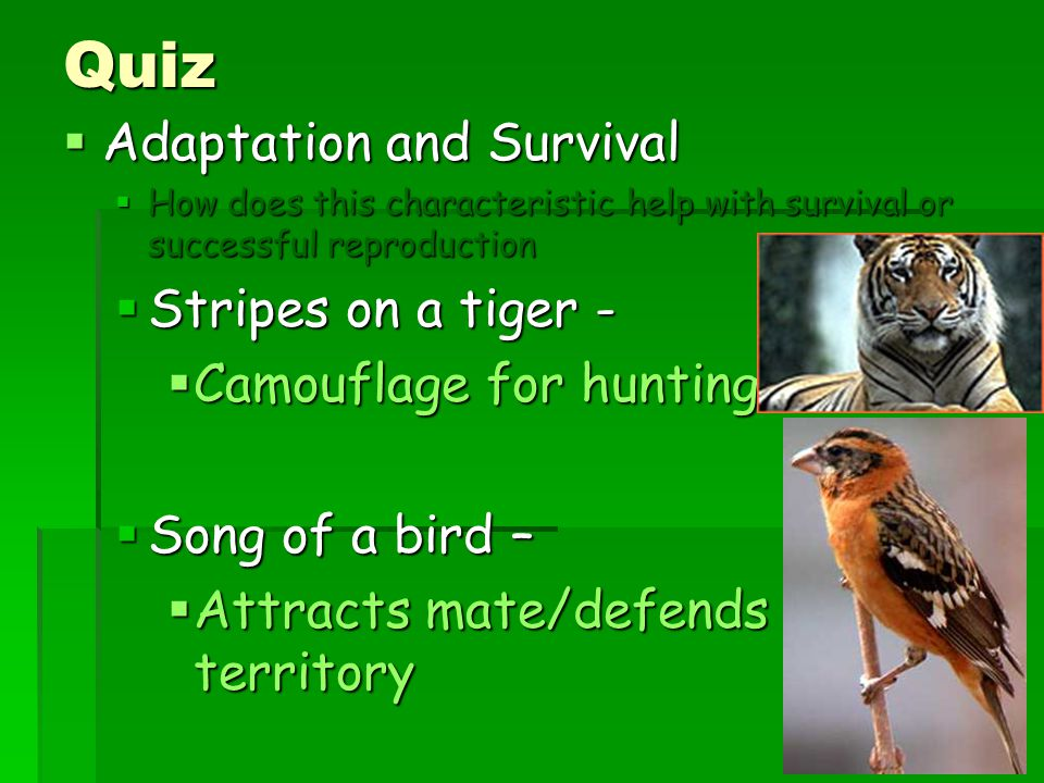 Quiz  Adaptation and Survival  How does this characteristic help with survival or successful reproduction  Stripes on a tiger -  Camouflage for hu