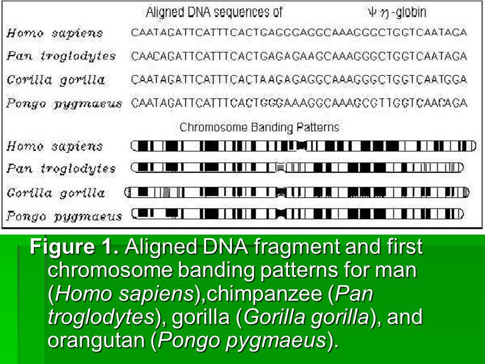 Figure 1. Aligned DNA fragment and first chromosome banding patterns for man (Homo sapiens),chimpanzee (Pan troglodytes), gorilla (Gorilla gorilla), a