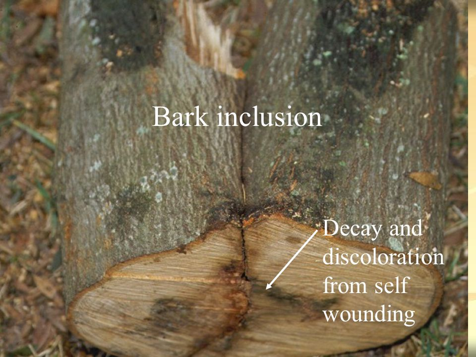 Bark inclusion Decay and discoloration from self wounding