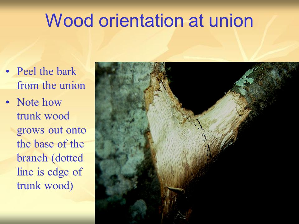 Wood orientation at union Peel the bark from the union Note how trunk wood grows out onto the base of the branch (dotted line is edge of trunk wood)