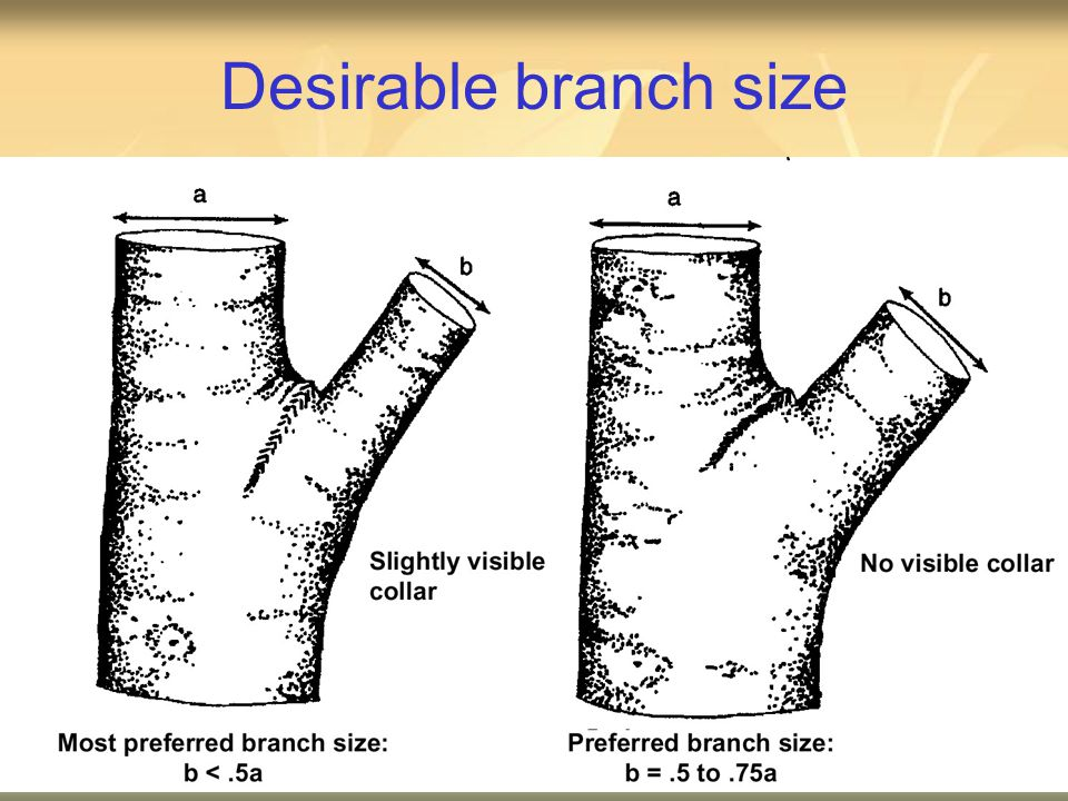 Desirable branch size