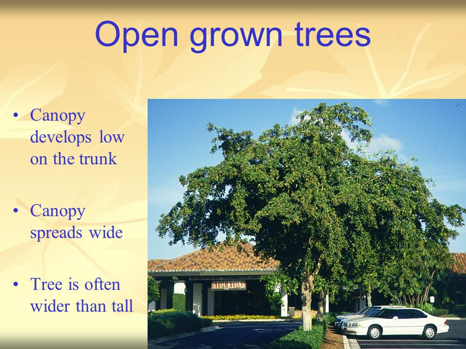 Open grown trees Canopy develops low on the trunk Canopy spreads wide Tree is often wider than tall