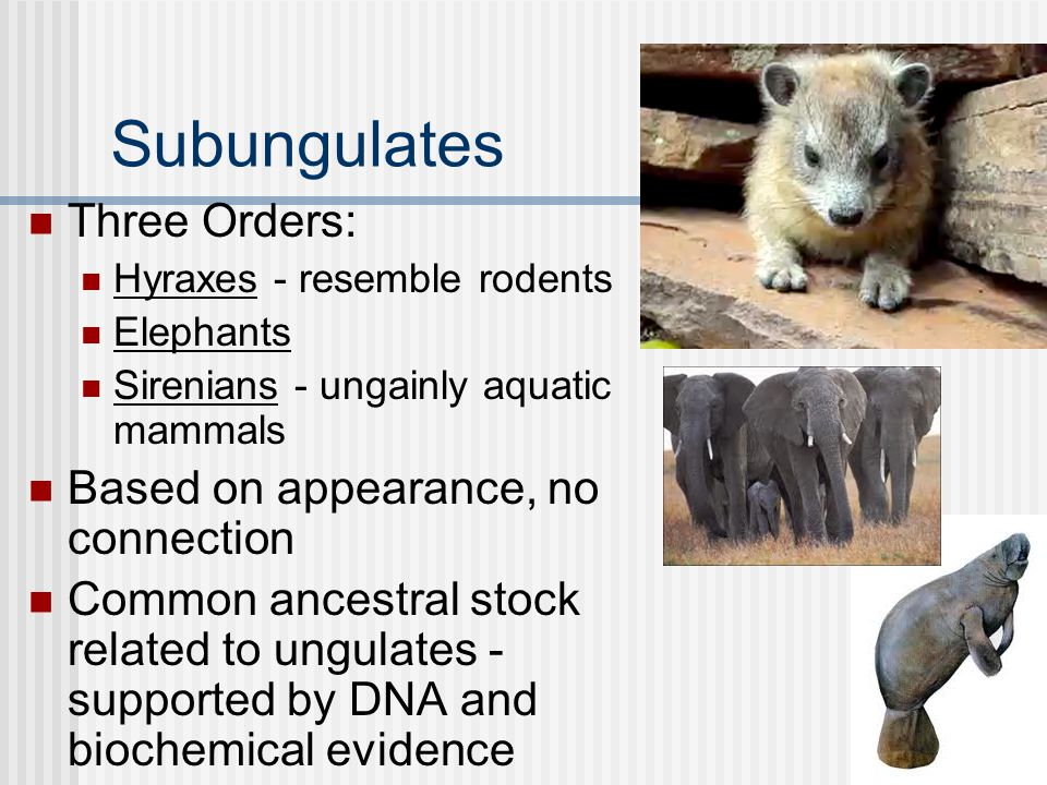 Subungulates Three Orders: Hyraxes - resemble rodents Elephants Sirenians - ungainly aquatic mammals Based on appearance, no connection Common ancestr