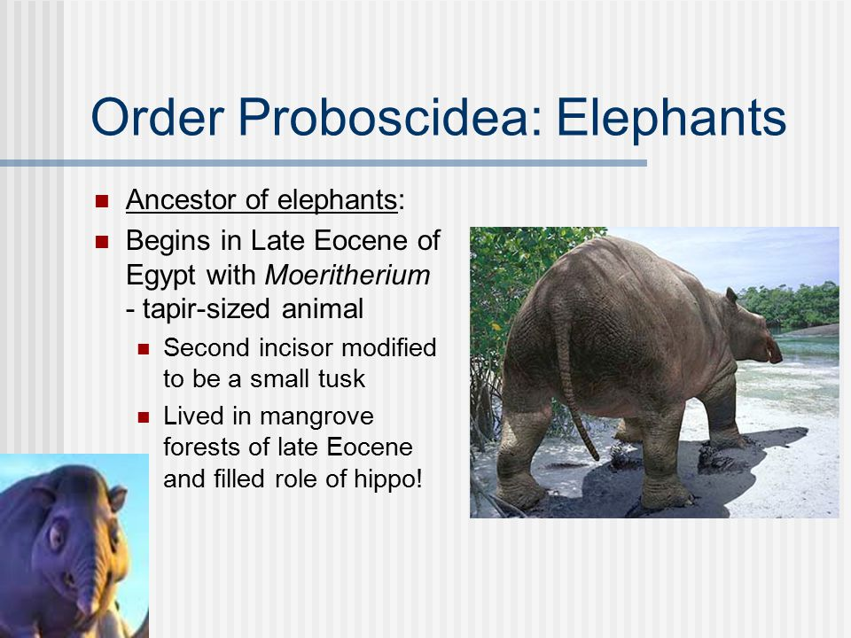 Order Proboscidea Family Elephantidae Two living genera African and Asian Largest living land mammal Elongation of nose - long, dextrous proboscis (trunk) with one or two fingers at tip