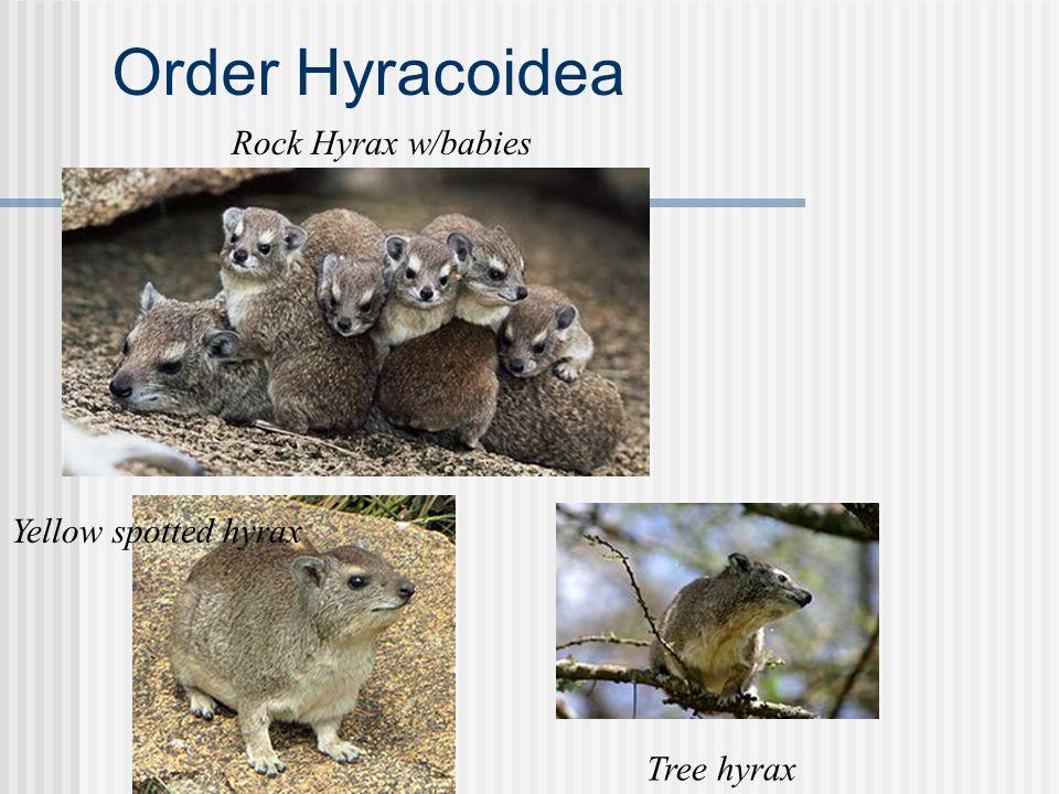 Order Hyracoidea Yellow spotted hyrax Rock Hyrax w/babies Tree hyrax