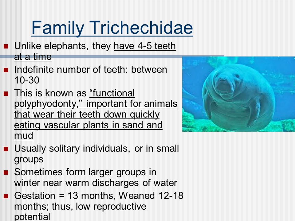 "Family Trichechidae Unlike elephants, they have 4-5 teeth at a time Indefinite number of teeth: between 10-30 This is known as ""functional polyphyodon"