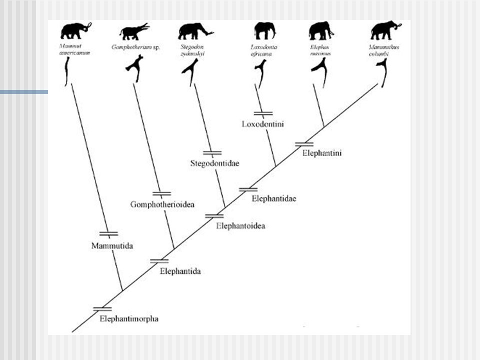 Order Hyracoidea 1- 2 feet long, short, compact bodies with short tails 2-11 pounds weight 9-12 year life span Need good traction for climbing and jumping on rocks: Toes short with hoof-like nails Unlike elephants and manatees, dentition not replaced horizontally.