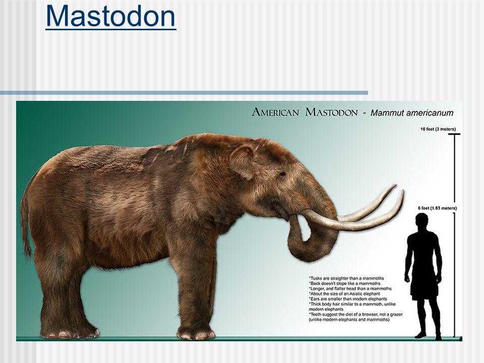 Family Dugongidae Average 12 feet, 800 pounds Tail fluke is notched.