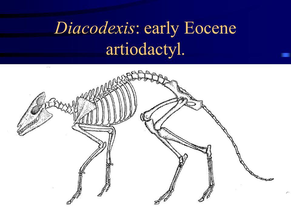 Diacodexis: early Eocene artiodactyl.