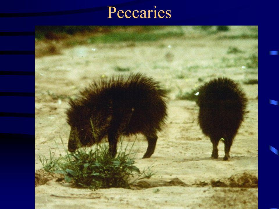 Peccaries