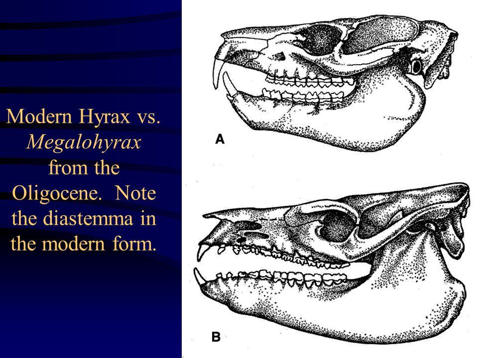 Modern Hyrax vs. Megalohyrax from the Oligocene. Note the diastemma in the modern form.