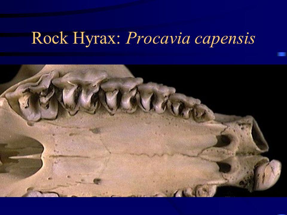 Rock Hyrax: Procavia capensis