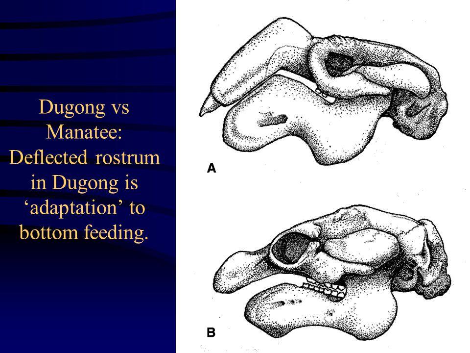 Perissodactyla and Artiodactyla Both forms of modern ungulates are digitigrade.