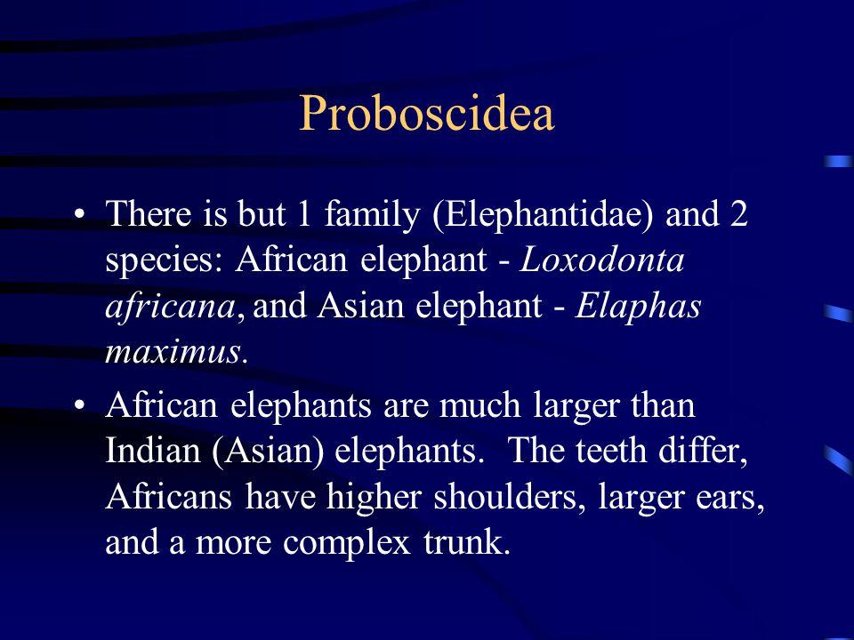 Proboscidea There is but 1 family (Elephantidae) and 2 species: African elephant - Loxodonta africana, and Asian elephant - Elaphas maximus.
