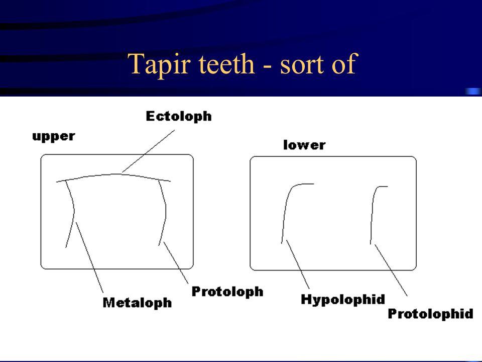Tapir teeth - sort of