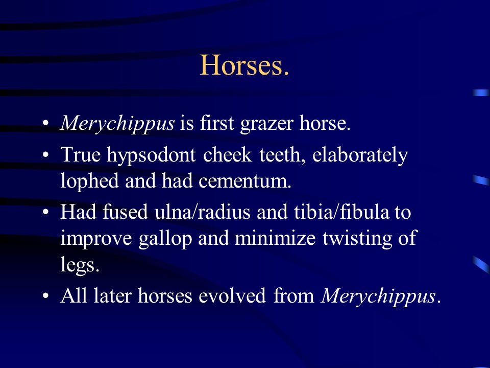Horses. Merychippus is first grazer horse.
