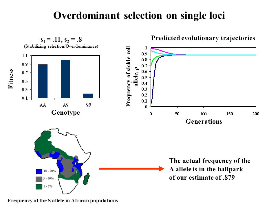 Overdominant selection on single loci Genotype s 1 =.11, s 2 =.8 (Stabilizing selection/Overdominance) Fitness Generations Frequency of sickle cell allele, p Predicted evolutionary trajectories The actual frequency of the A allele is in the ballpark of our estimate of.879 Frequency of the S allele in African populations