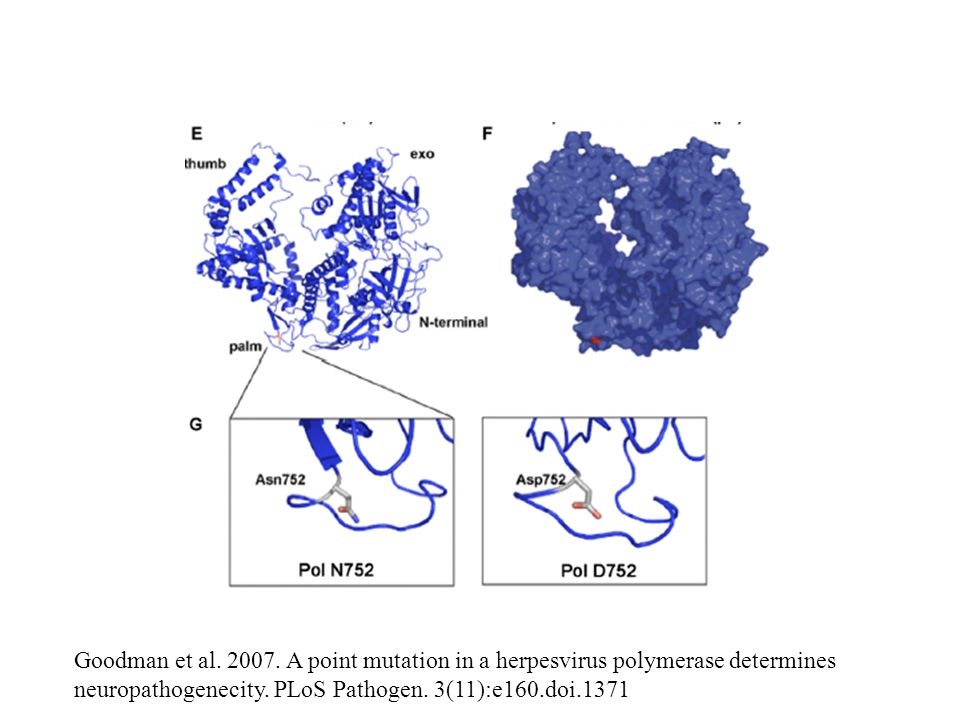 Goodman et al. 2007. A point mutation in a herpesvirus polymerase determines neuropathogenecity.
