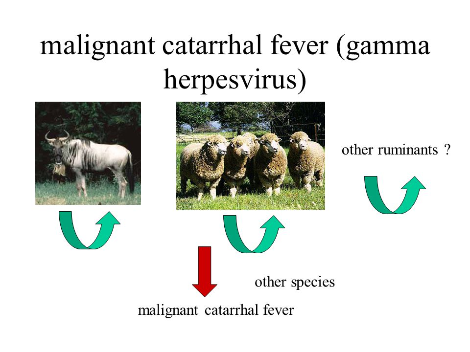 malignant catarrhal fever (gamma herpesvirus) other ruminants .