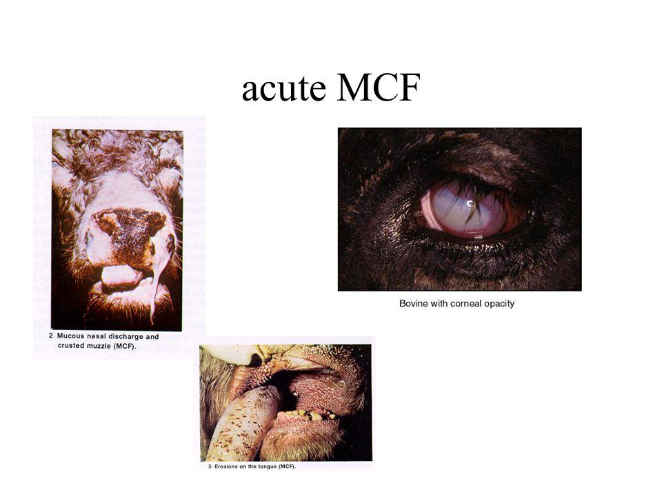 acute MCF